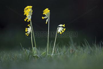 Cowslip flowers - Alsace France