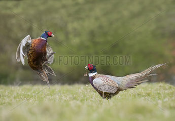 Pheasant (Phasianus colchicus) Male pheasant fighting  England  Spring