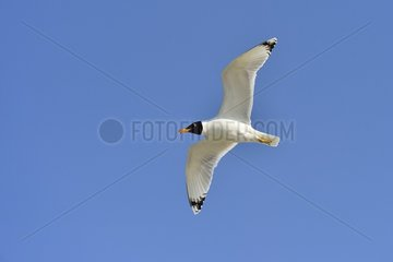 Pallas's Gull in flight - Danube Delta Romania
