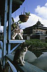 Young cat sat on a balustrade Inle Lake Burma