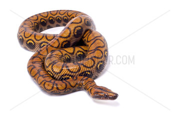 Brazilian rainbow boa (Epicrates cenchria cenchria) on white background
