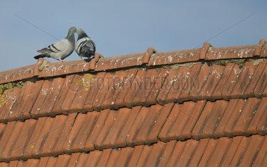 Rock Pigeon (Columba livia) in courtship  Delta de la Sauer Nature Reserve  Rhine Border  Munchhausen  Alsace  France