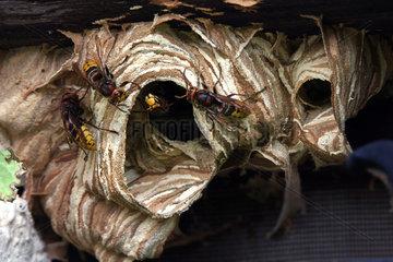 European Hornets (Vespa crabro) on their nest  France