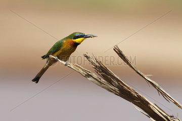 Little bee-eater (Merops pusillus)  Samburu  Kenya