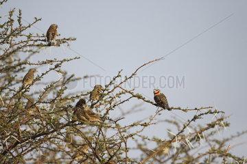 Cut-throat finchs (Amadina fasciata)  Samburu  Kenya