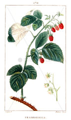 Botanical drawing of raspberry