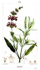 Botanical drawing of kitchen sage