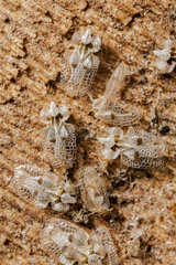 Sycamore Lace Bug (Tingidae sp) grouped under a bark to spend the winter  France