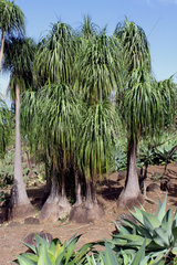 Ponytail Palms - Mascarin Garden Reunion