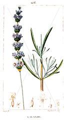 Botanical drawing of fine lavender
