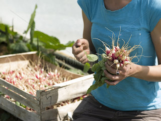 Harvest of radishes 'French Breakfeast' at Les jardins de Theia