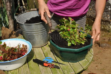 Cleaning of a begonia after wintertime in a garden