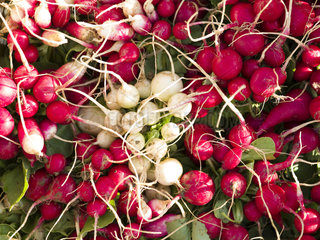 Harvest of radishes at Les jardins de Theia
