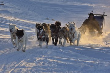 Hunter leaving Unarteq  Greenland  February 2016