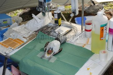 Auk anesthetized for remove intra-abdominal Recorder