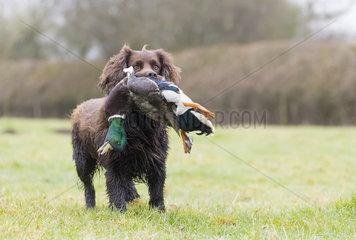 Hunting dog (Canis lupus familiaris) dog with a mallard  England  winter