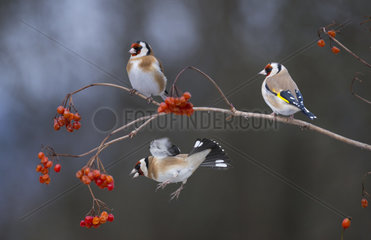 Goldfinches (Carduelis carduelis) feeding Mooseberry  Regional Natural Park of the Vosges du Nord  France