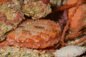 Scallop on sand - New Caledonia