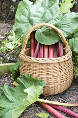 Harvest of rhubarb in a kitchen garden