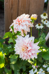 Dahlia 'Cafe au lait' in bloom in a garden