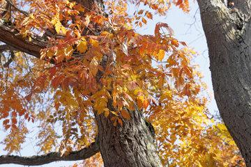 Goldenrain tree leaves (Koelreuteria paniculata)  Parc floral de Paris  Paris 12e  France