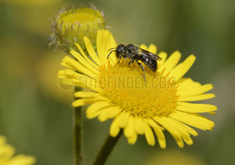 Digger wasp (Oxybelus bipunctatus) on Meadow False Fleabane (Pulicaria dysenterica) flower  Parc naturel regional des Vosges du Nord  France