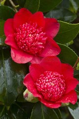 Camellia 'Bob's Tinsie' in bloom in a garden