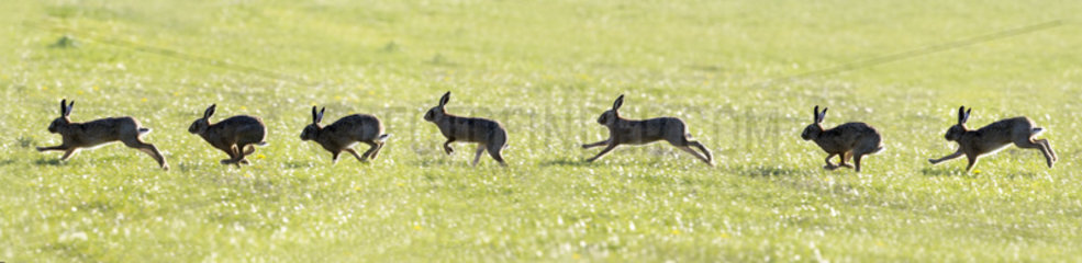 Brown Hare running in a meadow (composite) - GB