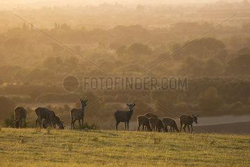 Red deer (Cervus elaphus) Group of red deer on the crest of a hill at sunset  England  Autumn