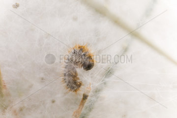 Pine processionary moth (Thaumetopoea pityocampa) caterpillar on nest  Provence  France