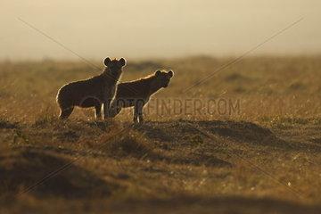 Spotted hyena (Crocuta crocuta) pair  Maasai Mara  Kenya