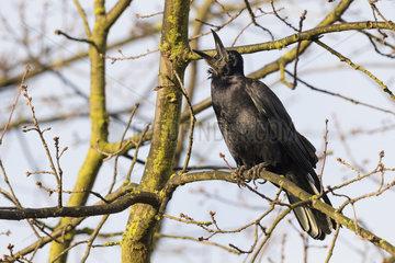 Rook  Corvus frugilegus  Hesse  Germany  Europe