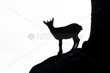 Spanish ibex (Capra pyrenaica)  Silhouette en rock  Guadarrama National Park  Spain