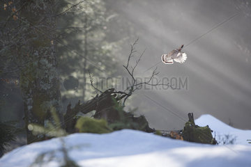 Hazel grouse (Tetrastes bonasia rhenana) male in flight in sunbeam   Vosges  France