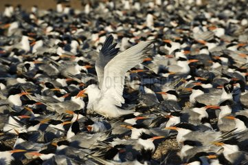 Nesting Elegant Terns crowd together in large numbers