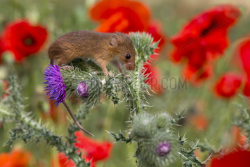 Harvest Mouse among wild flowers in summer - GB