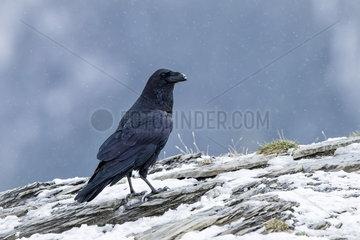 Raven (Corvus corax) in falling snow  Spanish Pyrenees  November