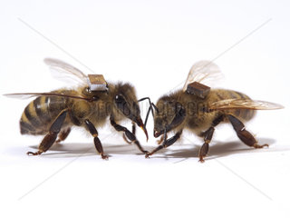 Honey bee (Apis mellifera) - The microchips are used by researchers to mark the bees and identify them by a scanner at the entrance to the hive or near the sugar distributors. It is thus possible to monitor the bee's activities on an individual level  such as the hours they leave the hive.