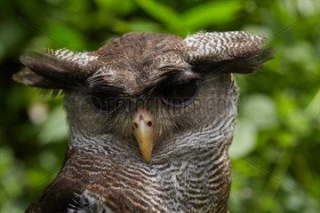 Barred eagle-owl also called the Malay eagle-owl (Bubo sumatranus)  Harau Valley  Sumatra  Indonesia