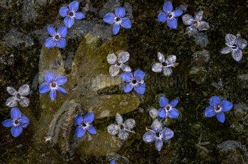 Flowers of Speedwell (Veronica sp) fallen in the water