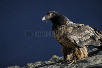 Lammergeier (Gypaetus barbatus)  2nd year immature  Spanish Pyrenees