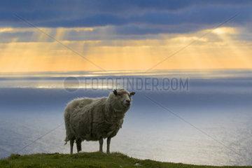 Sheep (Ovis aries) Sheep near the sea at sunset  Shetland  Spring