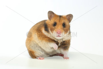 Domestic Golden Hamster (Mesocricetus auratus) on a white background.