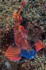 Triplefin (Tripterygion sp) male in bridal livery  Mediterranean sea
