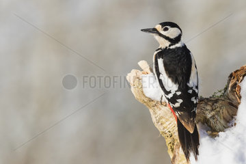 Profil view of a Great Spotted Woodpecker (Dendrocopos major) on a snowy tree stump  Alsace  France