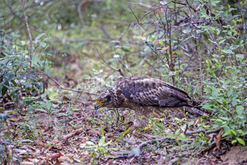 Crested Serpent Eagle (Spilornis cheela)  eating a snake on ground  Northwest Coast of Sri Lanka