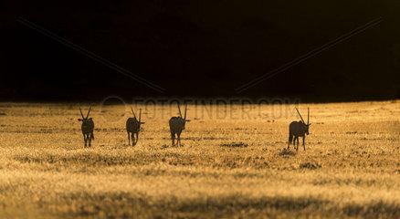 Gemsbok (Oryx gazella) group walking at sunset  Kgalagadi  South Africa