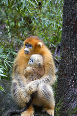Golden Snub-nosed Monkey (Rhinopithecus roxellana) and young  Qinling Mountains  Shaanxi province  China