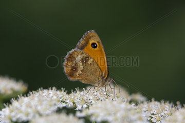 Gatekeeper (Pyronia tithonus)  Male lying on an umbelliferous in spring  Queens forest near Toul  Lorraine  France