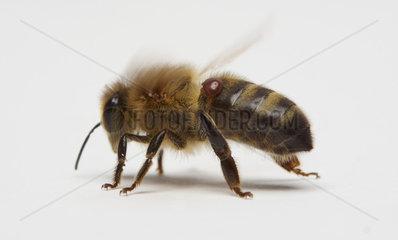 Honey bee (Apis mellifera) on white background.